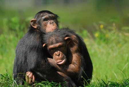 close-up of two cute chimpanzees (Pan troglodytes)