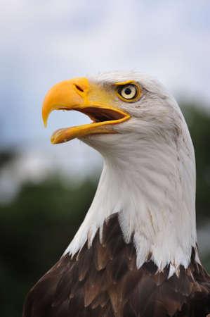 portrait of a American bald eagle photo