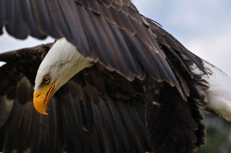 Close-up of an American bald eagle in flight photo