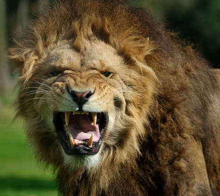 Close-up of a big angry African male lion Foto de archivo