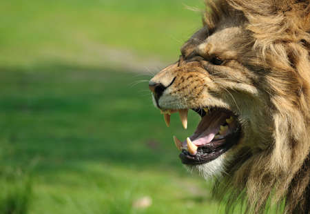 Close-up of a big angry African male lion photo