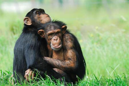 close-up von zwei niedlichen Schimpansen (Pan troglodytes)