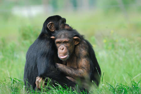 chimpanzees: close-up di due simpatici scimpanz� (Pan troglodytes) Archivio Fotografico