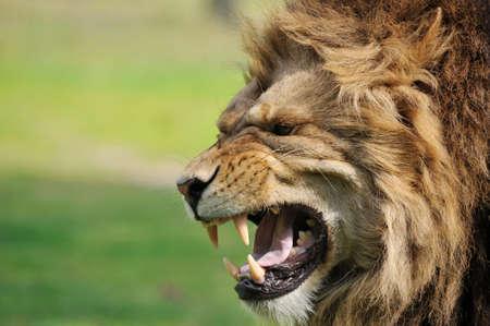 cazador: Close-up de un gran macho león africano enojado