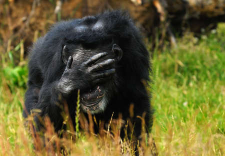 hands covering eyes: close-up of a chimpanzee (Pan troglodytes) Stock Photo