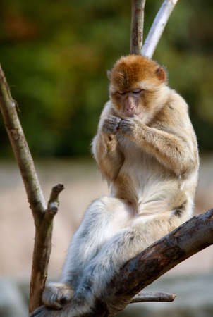 barbary ape: portrait of a barbary ape relaxing on a tree