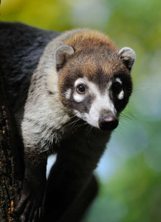 omnivores: White-nosed Coati (Nasua narica) also known as the Pizote or Antoon