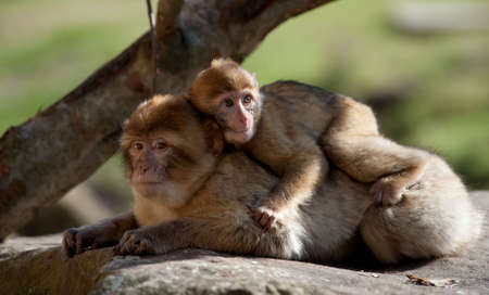 barbary ape: mother and baby barbary ape