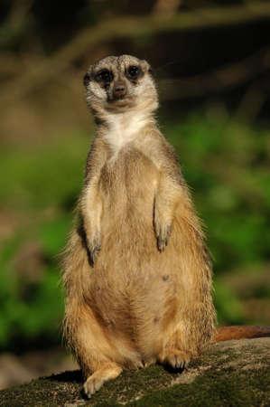 close up of a cute meerkat (Suricata suricatta) photo