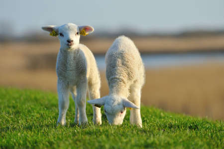 cute lambs in spring, The Netherlands Фото со стока - 5936173