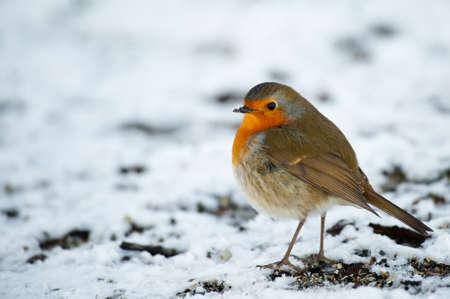 erithacus: Cute robin on snow in winter (Erithacus rubecula) Stock Photo