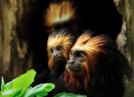 Golden headed Lion Tamarin with baby  (Leontopithecus chrysomelas) photo