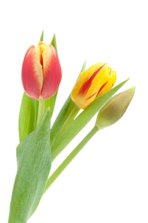 colorful spring tulips isolated on a white background Stock Photo - 6462751