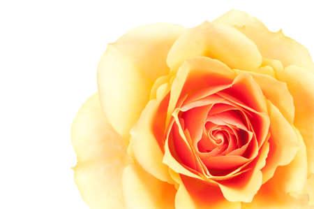 Close-up of a beautiful orange rose  photo