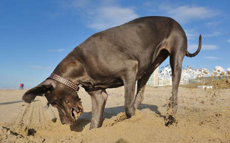 dug: Great Dane playing with sand on the beach Stock Photo