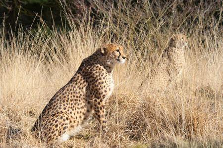 close-up of a beautiful cheetah (Acinonyx jubatus) photo