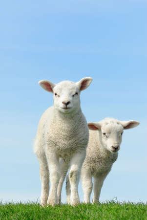 Cute corderos en primavera, los Países Bajos de Frisia