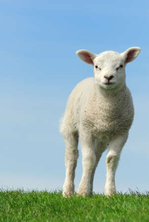 naivety: Cute lamb in spring, Friesland The Netherlands