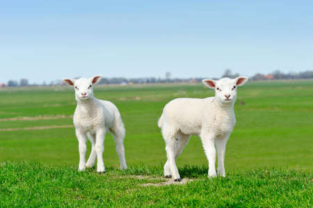 naivety: Cute lambs in spring, Friesland The Netherlands