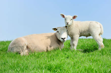 naivety: Mother sheep and her lamb in spring, Friesland The Netherlands Stock Photo
