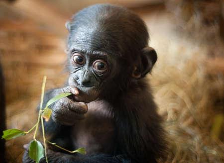 Cute baby Bonobo monkey (Pan paniscus) Stock Photo - 7149924