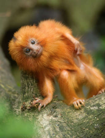 A cute golden lion tamarin baby (Leontopithecus rosalia)  photo