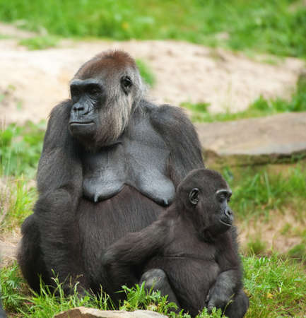 close-up of a cute baby gorilla and mother Stock Photo - 7149940