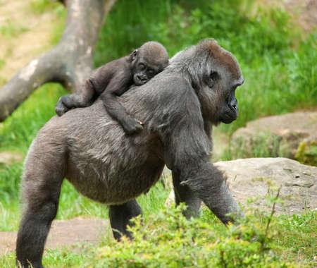 primer plano de un gorila de lindo bebé y la madre  Foto de archivo