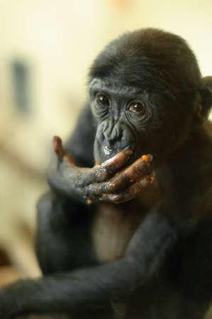 pan paniscus: Cute baby Bonobo monkey (Pan paniscus)  Stock Photo