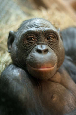pan paniscus: Portrait of a  Bonobo monkey (Pan paniscus)  Stock Photo
