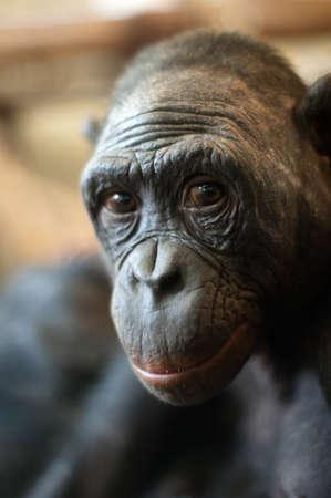 pygmy: Portrait of a  Bonobo monkey (Pan paniscus)  Stock Photo