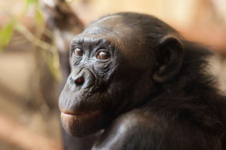 Portrait of a  Bonobo monkey (Pan paniscus) Stock Photo - 7149927