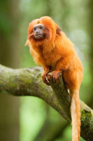 cute goldene Löwe Tamarin (Leontopithecus Rosalia) Lizenzfreie Bilder