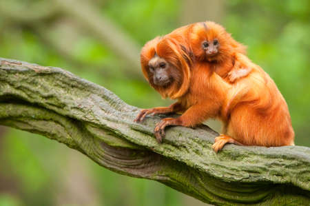 cute golden lion tamarin with baby (Leontopithecus rosalia) Фото со стока