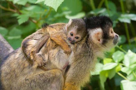 cute Totenkopfaffe mit Baby (Saimiri) Unterfamilie: Saimiriinae