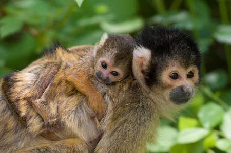 sciureus: cute squirrel monkey with baby (Saimiri) subfamily: saimiriinae