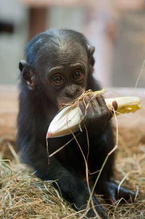 Cute baby Bonobo monkey (Pan paniscus)  Stock Photo - 8278169