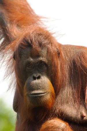 close-up of an orangutan photo