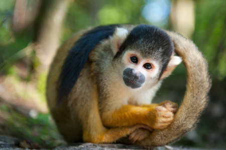 cute squirrel monkey (Saimiri) subfamily: saimiriinae Foto de archivo