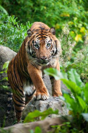 sumatran tiger: Tigre di Sumatra guardando la fotocamera