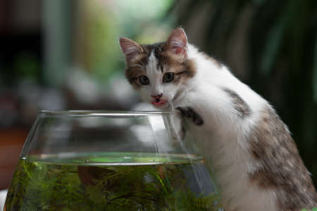 cute young kitten caught in the act of fishing in the bowl Stock Photo - 8278197