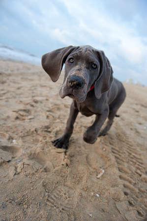 Schöne Dogge Welpen am Strand Lizenzfreie Bilder - 8367896