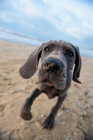 Hermoso de gran danés cachorro, en la playa