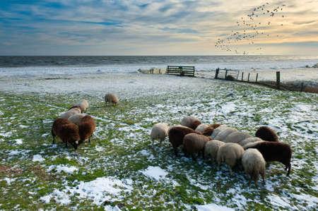 markermeer: sheep in winter in Warder, Markermeer, The Netherlands