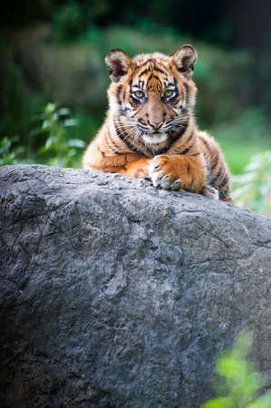 sumatran: Cute sumatran tiger cub looking at the camera