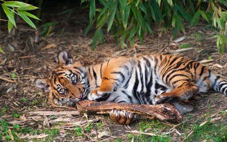 panthera: Cucciolo di tigre di Sumatra carino giocando sul suolo della foresta Archivio Fotografico