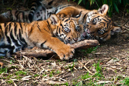 Two cute  sumatran tiger cubs playing on the forest floor