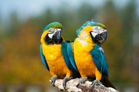 ararauna: cerca de dos bellas azules y amarillos guacamayos (Ara ararauna)