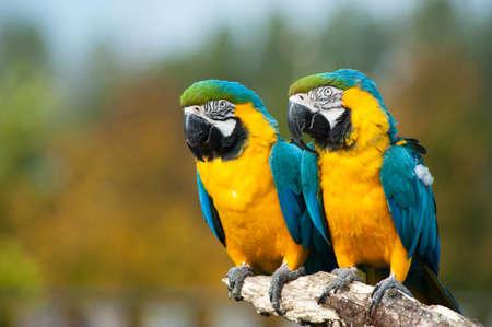 ararauna: cerca de dos hermosos azules y amarillos guacamayas (Ara ararauna) Foto de archivo