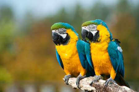 close up of two beautiful blue and yellow macaws (Ara ararauna) photo